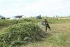 Десять тонн конопли уничтожили сотрудники милиции в Сокулуке