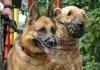 Для чего в Кыргызстане ставят на учет домашних собак?
