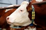 С идентификацией скота возникли проблемы