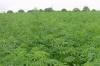 В Сокулуке изъяли более тонны конопли