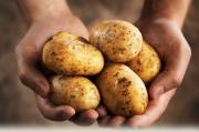 Кыргызский картофель будет экспортироваться в Узбекистан