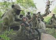 Трогательная история, как лангуры (обезьяны) оплакивали детеныша-робота