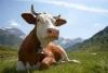 В селе Ленинское нетрезвый мужчина, предположительно, надругался над коровой