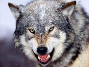 Пограничники спасли сельчанина от волка