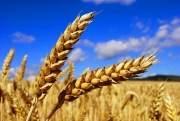 Стоит ли возвращать НДС на импорт пшеницы?