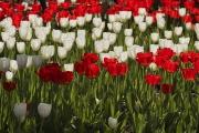 В Бишкеке высадили около 130 тысяч тюльпанов