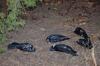Морозы и птичий грипп не могли убить столько ворон в Кара-Балте